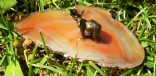 Achátový plátek hnědý se slonem